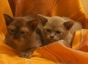 Бурма  (котята) -европейская