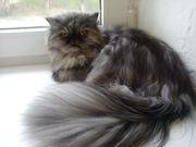 Ищу персидского кота для вязки