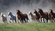 Продадим лошадей (табун)