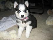 Подрощенный щенок Сибирской Хаски